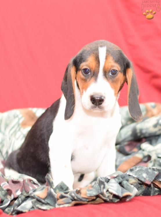 Bobby Beagle Puppy For Sale In Millersburg Oh Lancaster