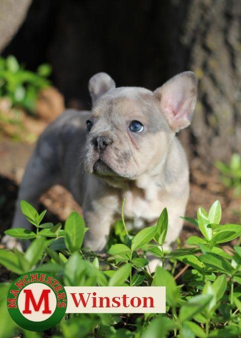 Winston Male French Bulldog Puppy For Sale In Joplin Mo