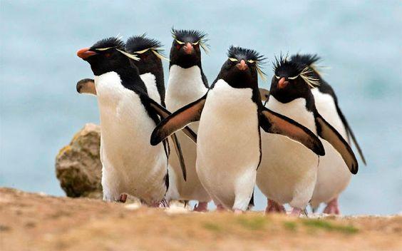 Macaroni Penguins EU MOLHEI MEU PÉ NO RIO... IAA IAAOO!♩ ♪ ♫ ♬ ⑂♭♮♯ TODOS NOS♯ SOMOS PÉ FRIO... IA IAOO.!.⑂♭♮♯♩ ♪ ♫ ♬