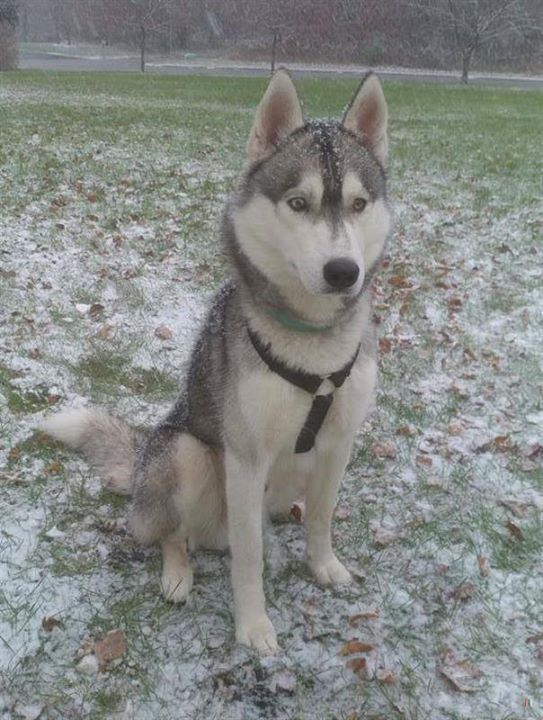 Lost Dog Ramsey Husky Male Date Lost 05 19 2018 Dog S Name