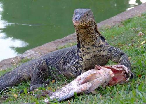 Google Image: NILE MONITOR LIZARD...Fla. | Reptiles ...