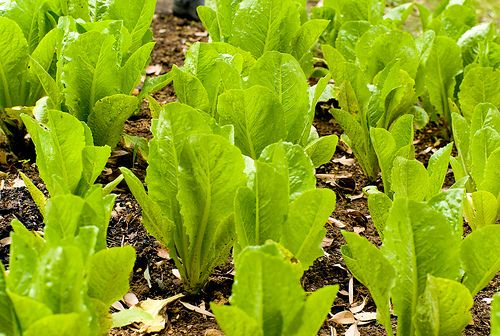 Time to Grow Some Romaine Lettuce in your Backyard - http://www.organicfarmingblog.com/time-grow-romaine-lettuce-backyard/