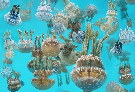 This picture of beautiful Cnidaria comes from the fine folks at the Monterey Bay Aquarium