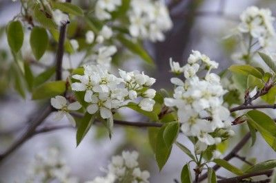 Serviceberry is one of the great plants for northern gardens because it requires little care and provides three-season interest to the garden.