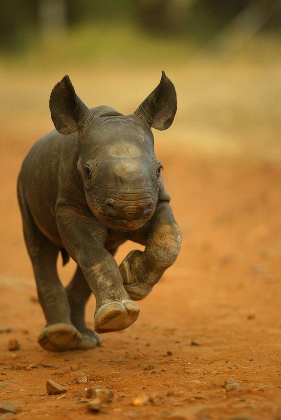 Devastatingly cute running rhinoceros calf - those ears, those big, giant feet... so adorable!  #baby  #animal