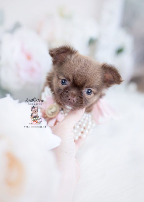 Teacup Chihuahuas And Chihuahua Puppies For Sale By Teacups Chihuahua Zuchter In Deutschland Chih In 2020 Chihuahua Puppies Chihuahua Puppies For Sale Teacup Puppies