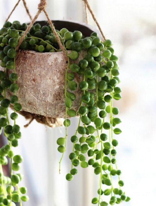 Senecio Rowleyanus Sznur Perel Rozmiar M 7149834592 Oficjalne Archiwum Allegro Gardening For Dummies Organic Gardening Tips Organic Gardening