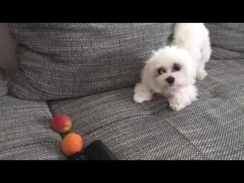 Malteser Hund Klaut Die Aprikose Frech Wie Oskar Youtube Malteser Hund Malteser Hunde