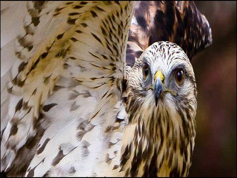 Types Of Hawks North Carolina Animals Animal Photography Animal Love Quotes
