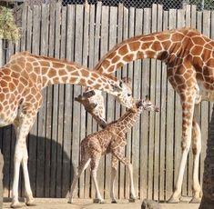 Love you, love you!  :) (Oakland's zoo has a brand new baby giraffe!)