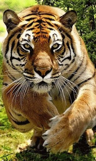 Tiger ~ charging