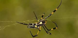 Resultado de imagem para aranhas venenosas