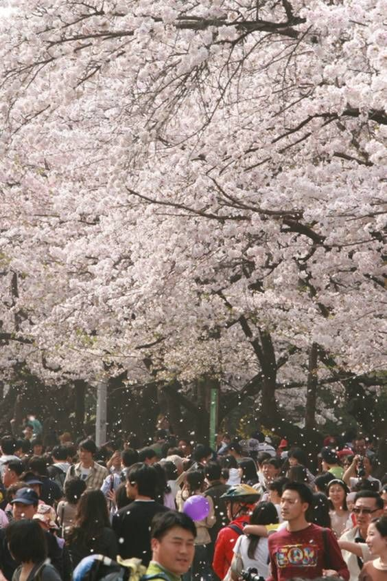 Best Time For Hangang Yeouido Spring Flower Festival In Seoul 2021 Flower Festival Spring Flowers Flowers