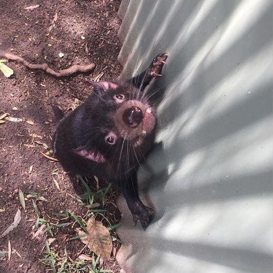 Take me with you! #tasmaniandevil @currumbinsanctuary #currumbinwildlifesanctuary by miss_mafiia http://ift.tt/1X9mXhV