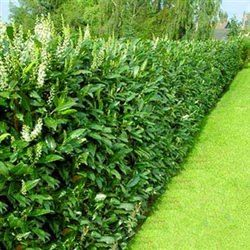 Landscape hedge cherry laurel shrub quick growing good for Fast growing drought tolerant trees