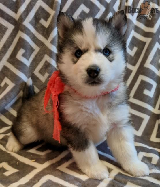 Pin By Josefina On Cute Animals Puppies Husky Puppies For Sale