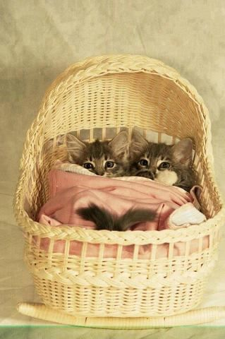 Two little kittens in a basket bed.  #cats #kittens #pets #animals