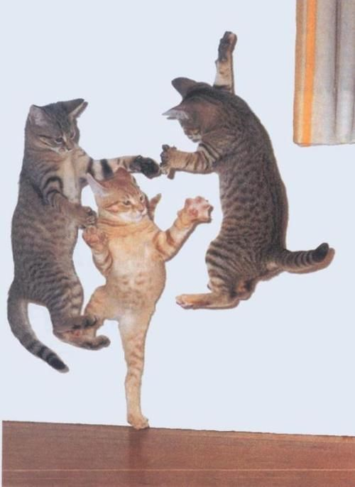get up and get down: Dance Parties, Kitty Cat, Dance Party, Funny Cat, Kung Fu