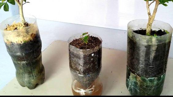 Como Plantar Árvore Frutifera na Garrafa Pet