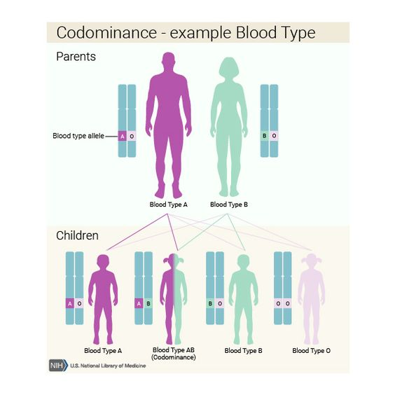 Codominant | What are the different ways in which a genetic condition can be inherited? - Genetics Home Reference: