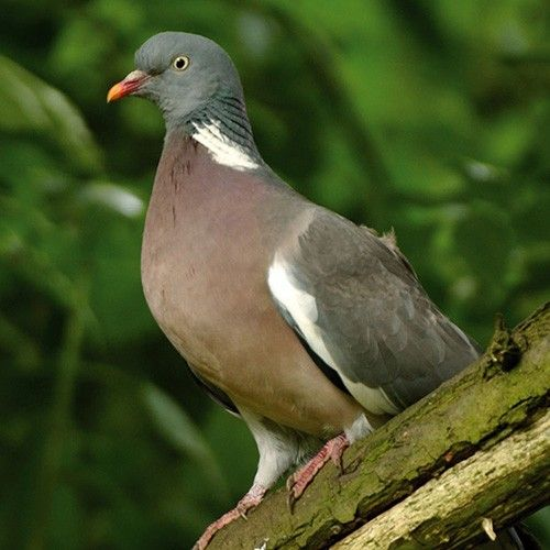 17 Best Images About Wood Pigeon On Pinterest To Be Artworks