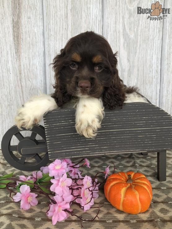 Reese Cocker Spaniel Puppy For Sale In Lagrange In Buckeye Puppies Cocker Spaniel Puppies Spaniel Puppies For Sale Puppies
