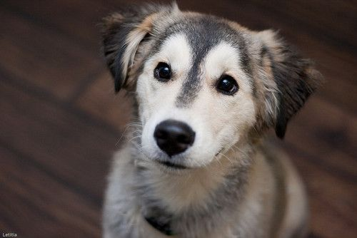 a husky/gold retriever mix. i can't even handle this puppy!