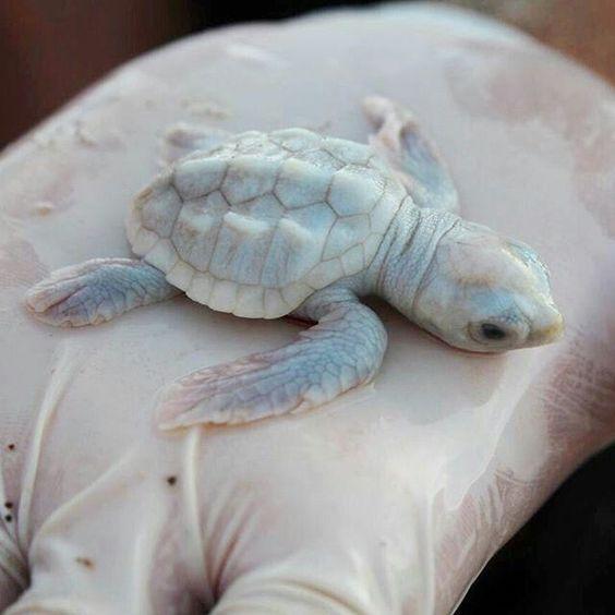 Bebek Albino Deniz Kaplumbağası