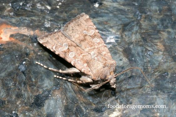 How To Get Rid Of Pantry Moths In Your Kitchen Posts Thoughts And Pantry