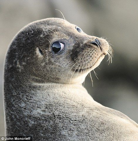 Over the Shoulder Seal by John Moncrieff, taken in Troswick, Shetland Islands, Scotland (Highly commended in Portrait category)