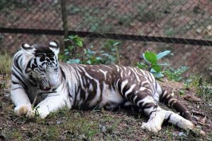Pseudo Melanistic White Tiger At Nandkanan Zoo In India Photo From White Tiger Truths Blog Pseudo Melanism In Tigers App Black Tigers Melanistic Wild Cats