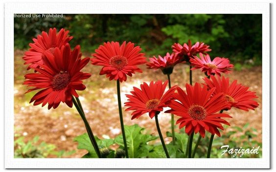 Gerber Daisies are one of my favorite flowers