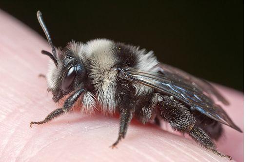 Ashy mining bee. Photo by Ed Philips. http://www.edphillipswildlife.com/the-ashy-mining-bee-andrena