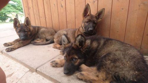2 Schaferhund Welpen Ddr Linie Gerader Rucken Vom Zuchter In