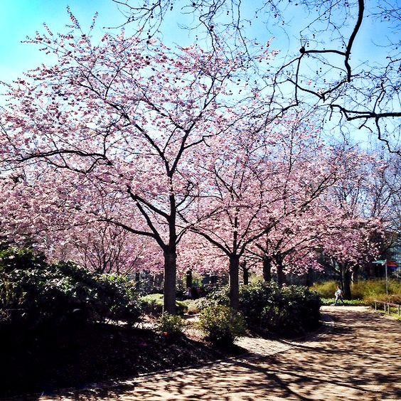 Japanisches Kirschblütenfest Hamburg