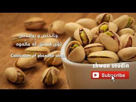 چاندنی فستق زراعة الفستق Cultivation Of Pistachios Youtube Pistachio Make It Yourself Food