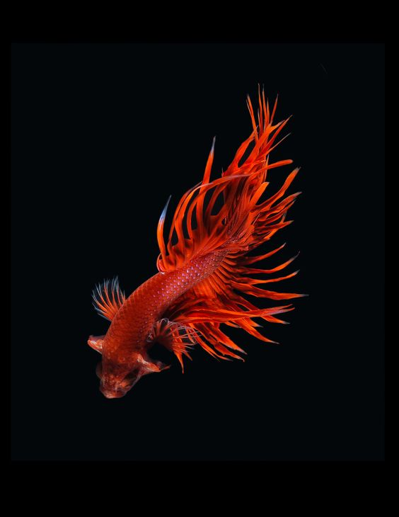 Siamese Fighting Fish Show Off Their Fiercest Looks | Spending hours sitting down, the photographs are as much a product of patience as preparation.  Visarute Angkatavanich  | WIRED.com