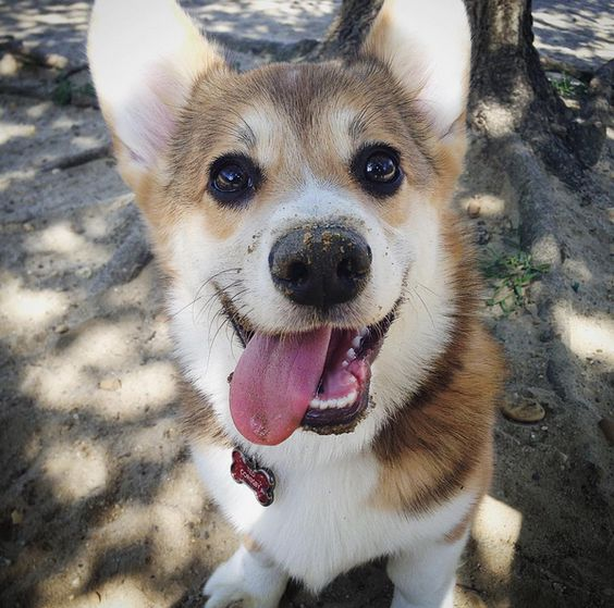 The happiest Corgi in the park! - Connolly Dog Park - Voorhees, NJ - Angus Off-Leash #dogs #puppies #corgis #cutedogs #dogparks #voorhees #newjersey #angusoffleash: