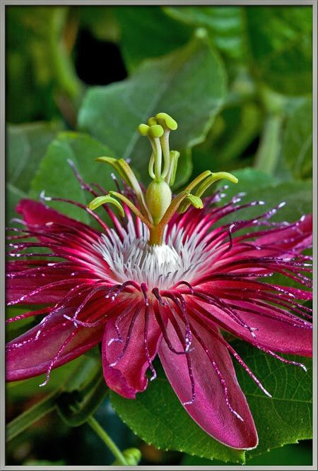 "Passionflower ""Lady Margaret"" (Passiflora coccinea x incarnata) - according to the texts, this variety is not a larval host plant for gulf frittilary butterflies, but in my garden, they denude it every fall.:"