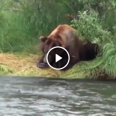 O urso saiu para caçar o seu jantar