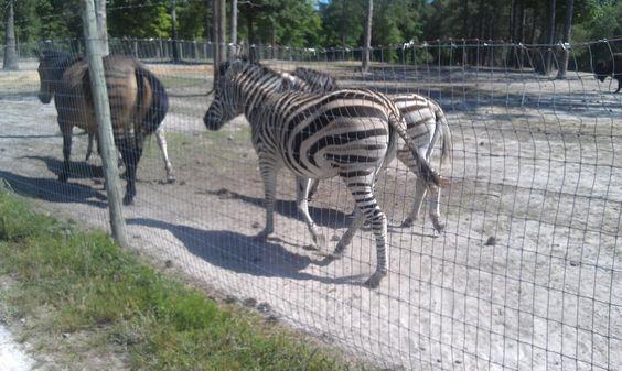 a hyrbrid.. half horse half zebra in front of the zebras!