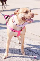 Tulip (needs foster home): Pit Bull Terrier, Dog; Bloomington, IL
