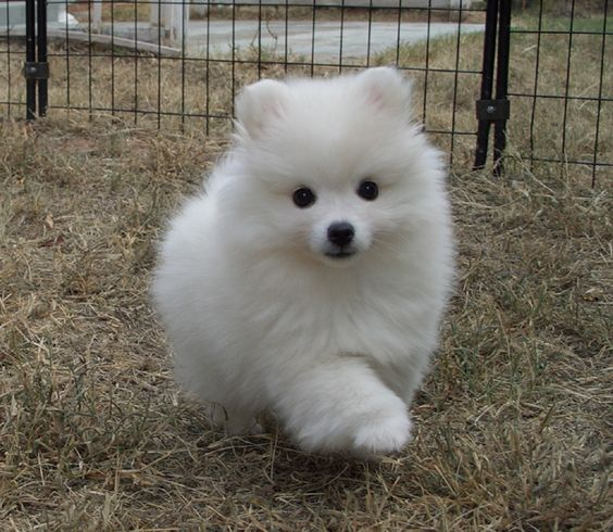 Toy American Eskimo. Intelligent, alert, friendly, and ...