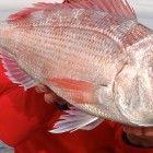 Como pescar pargos y pageles a spinning ligero