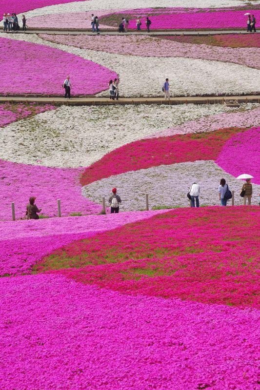graphic and beautiful. //Prato di fiori rosa, pink flowers