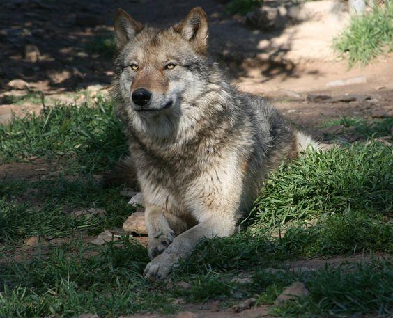 wolves ravens おしゃれまとめの人気アイデア pinterest mikhtam chan おおかみ