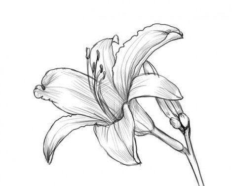 Auf diese Seite erkennen Sie, wie kann man die wunderschöne Lilie selber zeichnen. Die einfache und kurze Anleitung ist auch dabei.