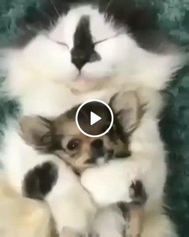 Gatinho se apaixona pelo cãozinho e não quer largar