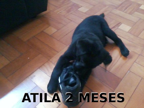 Atila 2 meses