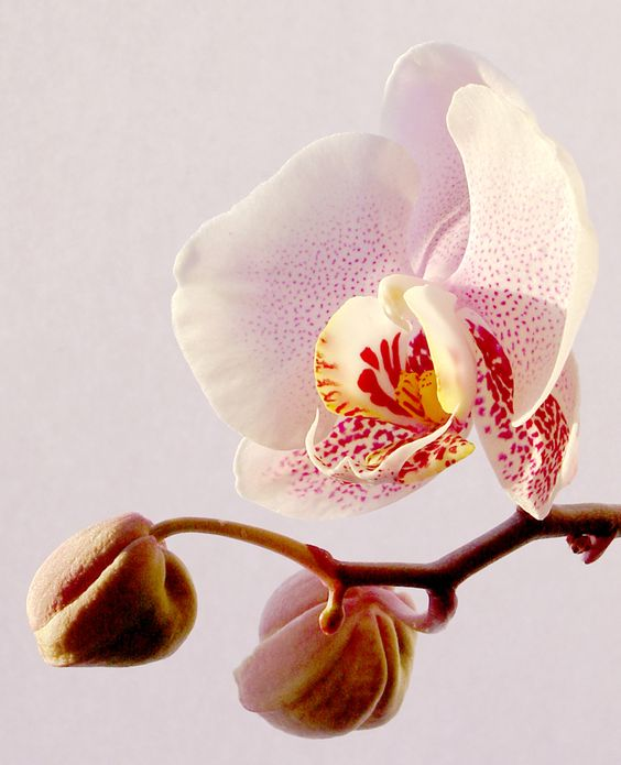 The Orchid = Mature Love, Sophistication, Grace, Luxury, Refinement. The Greeks believed that the Orchid represents Virility. Ideal for your 14th wedding anniversary bouquet. Orchids also make a popular Mother's Day gift.